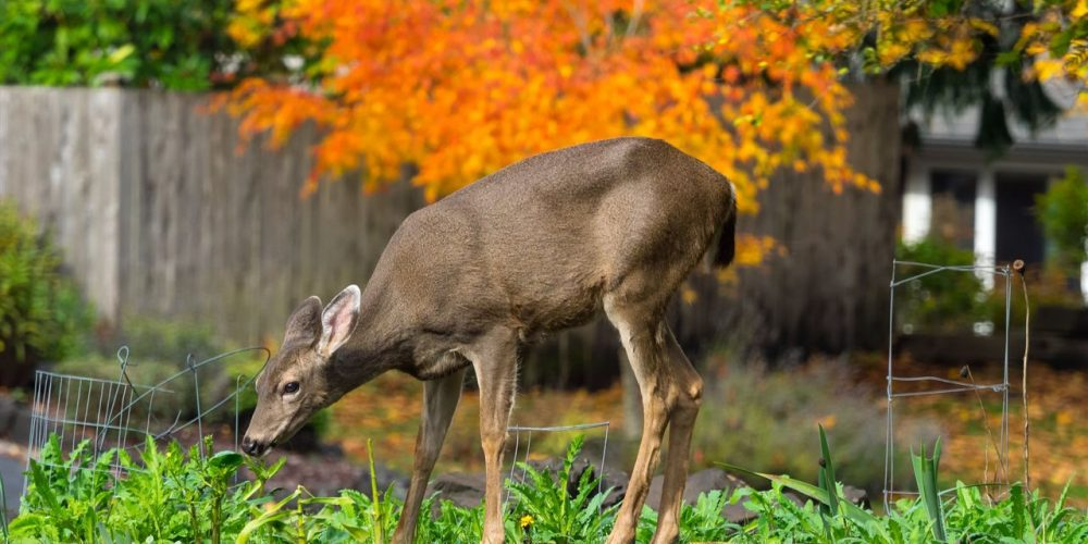 Oh deer! How to keep hungry herbivores out of your yard all year-round
